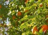 Grow Your Own Fruit Trees