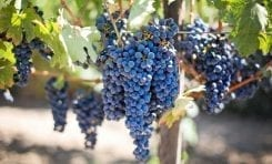 Grow Your Own Grapevines